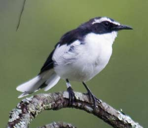 Angola cave chat this unusual and attractive endemic in its own